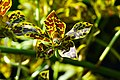 D85 4504 Plant of Thailand Photographed by Trisorn Triboon.jpg