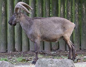 East Caucasian tur - At Zoo Augsburg