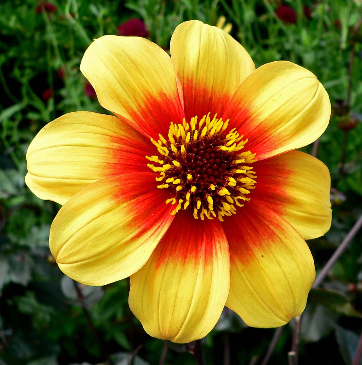 List of award of garden merit dahlias wikipedia izmirmasajfo
