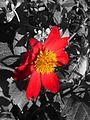 Dahlia coccinea (Compositae) flower experiment.jpg