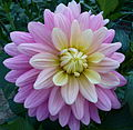 Dahlia du concours international 2012 Parc Floral Paris 20.JPG