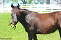 Dales Pony at the Kentucky Horse Park- Gullivers Mistral owned by Baroque Farm (6910533144).jpg