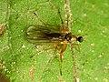 Dance Fly Female (31705616936).jpg