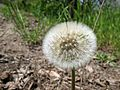 Dandelion (Taraxacum) IMG 4280.JPG