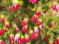 Darwinia oxylepis (02).JPG
