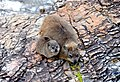 Dassie (rock hyrax), South Africa.jpg