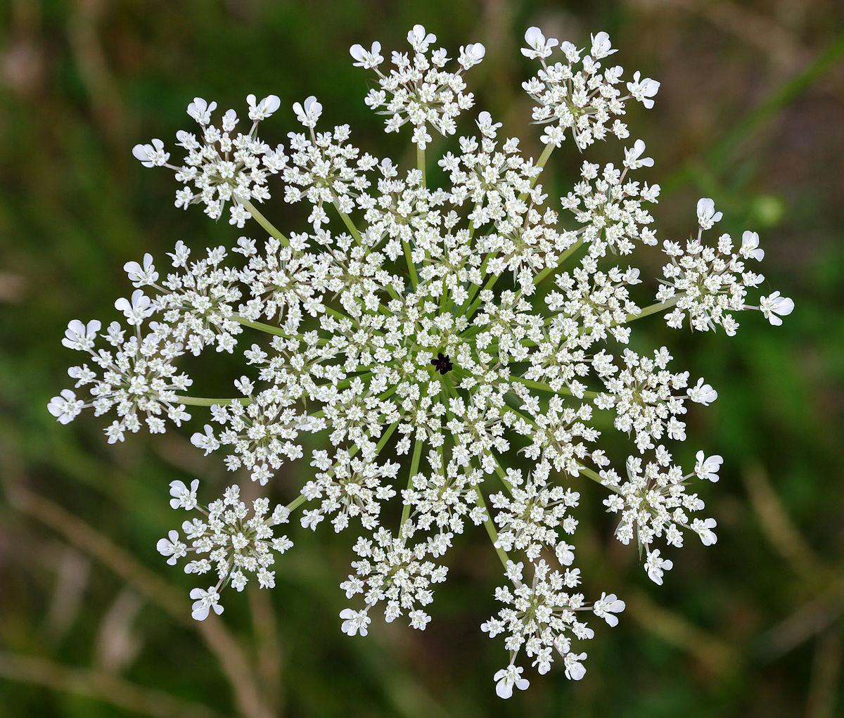 Queen Anne's lace - Wikipedia