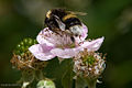 David.nikonvscanon - Busy Bee (by).jpg