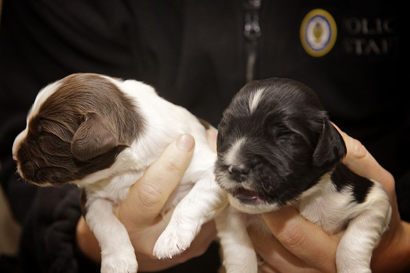 File:Day 354 - West Midlands Police - Newly born police puppies (8288060774).jpg