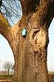 De 'Duizendjarige Eik' , opgaande boom - 374930 - onroerenderfgoed.jpg