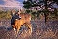 Deer, Bandelier (2555271522).jpg