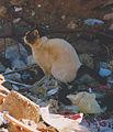 Defecating cat in Egypt.jpg