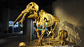 Denver Museum of Nature and Science - Gomphotherium 20-09-2014 14-53-37.JPG