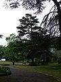 Deodar (Cedrus deodara) - geograph.org.uk - 813282.jpg