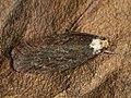 Depressaria ?leucocephala (40814014122).jpg