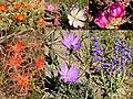 Desert Wildflowers on Seedskadee National Wildlife Refuge (27662579380).jpg