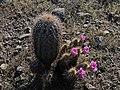 Desert scenic flowers cacti.jpg