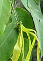 Desmos lawii - Sahyadri Ylang-Ylang 09.jpg