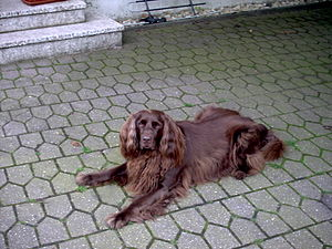 German Longhaired Pointer - A German longhaired pointer