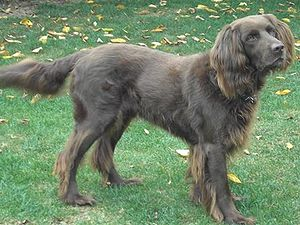 German Longhaired Pointer - Image: Deutsch Langhaarneu