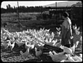 Dganiyeh (woman feeding hens in yard, Degania Palestine) (Frank Hurley) (32065611314).jpg