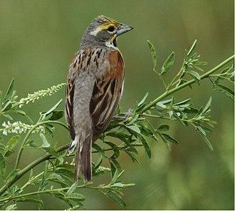 Dickcissel - Male in nonbreeding plumage - Maywood, Illinois
