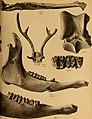 Die Pithecanthropus-Schichten auf Java. Geologische und paläontologische Ergebnisse der Trinil-Expedition (1907 und 1908), ausgeführt mit Unterstützung der Akademischen Jubiläumsstiftung der Stadt (20932037332).jpg