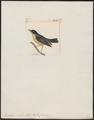 Diglossa similis - 1820-1860 - Print - Iconographia Zoologica - Special Collections University of Amsterdam - UBA01 IZ19000401.tif