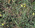 Diplotaxis tenuifolia PID2046-1.jpg