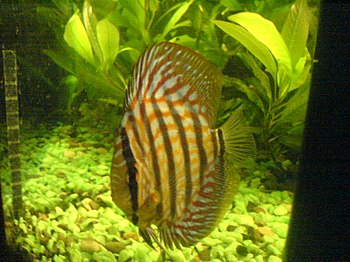 English: Red Turquise Discus Fish فارسی: ماهی ...