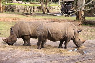 Kilimanjaro Safaris - Rhinos at Animal Kingdom