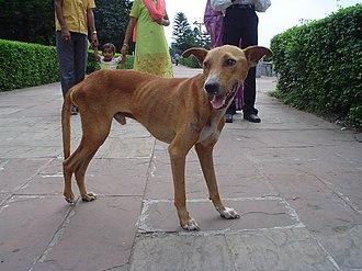Semi-feral - Stray dog in Kolkata
