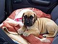 Dog niemiecki 6 tygodni- Great Dane - 6 weeks puppy (2176102845).jpg