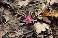 Dogtooth violet - Erythronium dens-canis - panoramio.jpg
