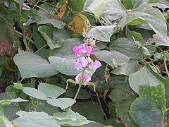Hyacinth bean plant