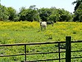 Donkeys in buttercups - geograph.org.uk - 1334491.jpg
