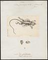 Draco fimbriatus - 1700-1880 - Print - Iconographia Zoologica - Special Collections University of Amsterdam - UBA01 IZ12700017.tif