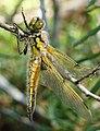 Dragonfly in Finland.jpg