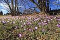 Drebacher Krokuswiesen 2H1A4801WI.jpg