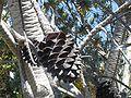 Dried female cone Leucodendronargentum 1.jpg