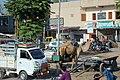 Dromedary in Mehsana.jpg