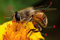 Drone fly feeding on marigold tagged.png