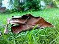 Dry Leaf on Grass.jpg