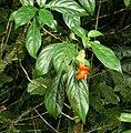 Drymonia rubra Costa Rica.jpg