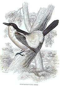 Dryoscopus gambensis