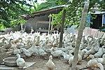 Duck farm in Can Tho (14239819661).jpg