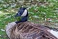 Ducks (28356517369).jpg