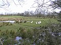 Ducks and geese, Racolpa - geograph.org.uk - 1222802.jpg