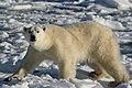 Dungarees the polar bear (6375973427).jpg