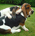 Duo de basset-hound.jpg